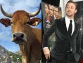 Ryan Goslings Crusade Against dehorning Of Cows